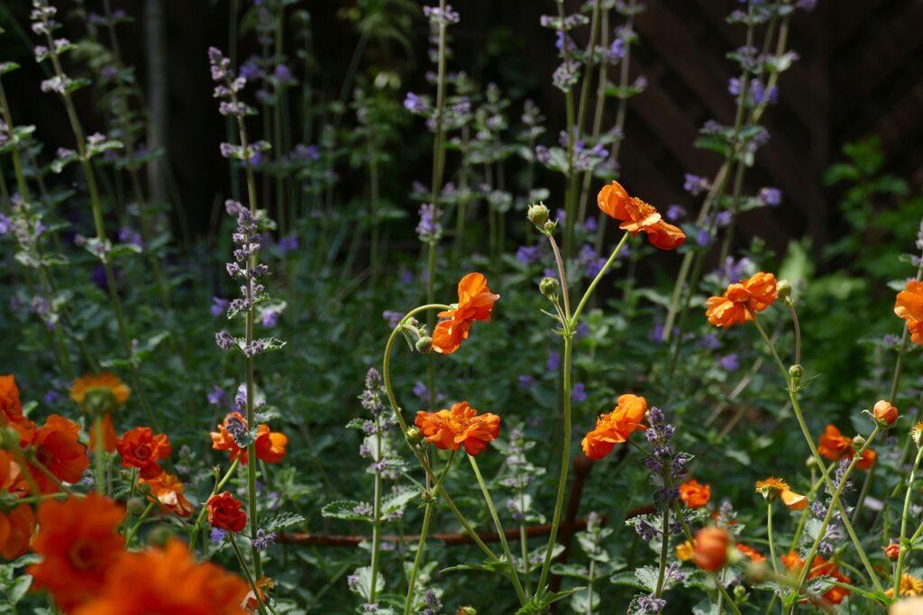 catnip Nepata garden