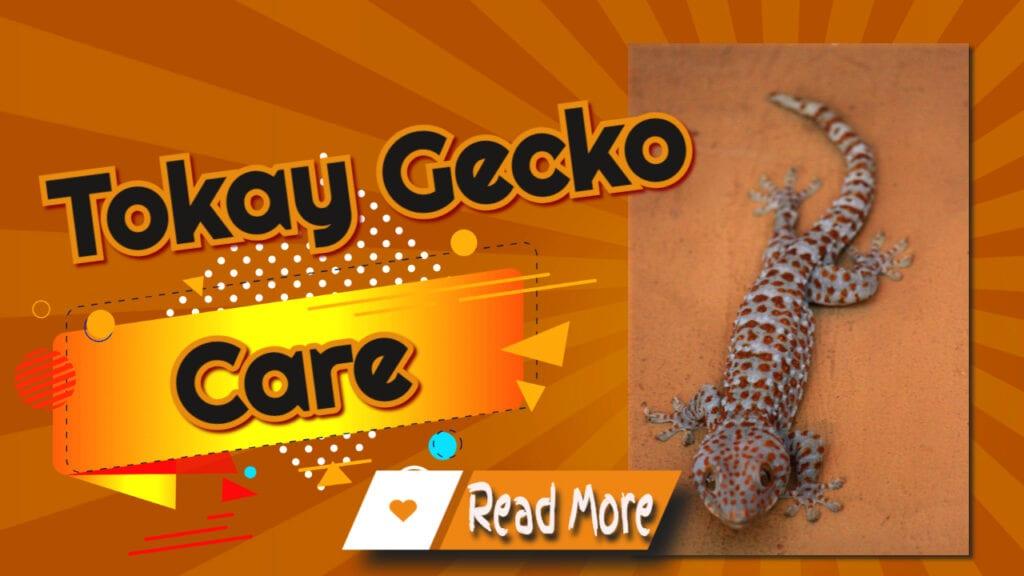 Tokay gecko care
