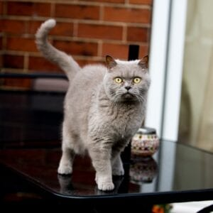 grey cat looking at camera standing on table