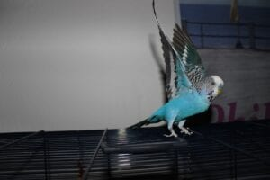 blue budgie on top of bird cage