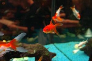 fish-swimming in tank