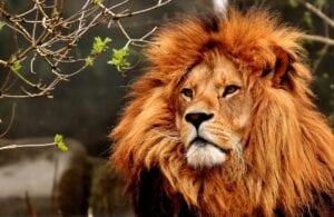 lion-
